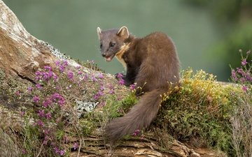 flowers, muzzle, look, animal, tail, marten