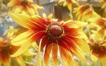 цветы, лепестки, рудбекия