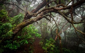 trees, plants, forest, fog, trunks, path