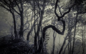 trees, forest, fog, trunks, black and white