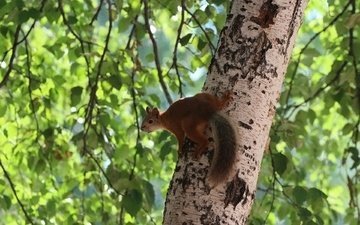 tree, forest, leaves, background, branches, protein, tail, squirrel
