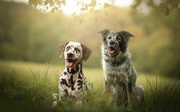 трава, далматин, язык, друзья, собаки, боке, бордер-колли, долматин, две собаки