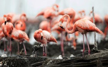 flamingo, birds, beak, feathers