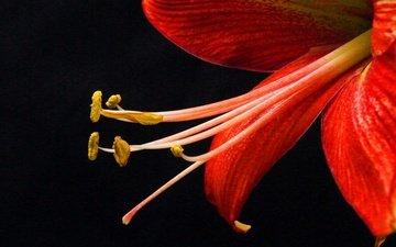 фон, цветок, лепестки, тычинки, лилия, черный фон