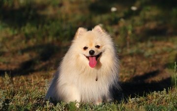 background, each, language, dog, spitz