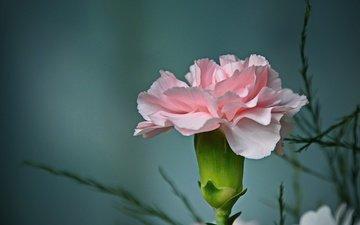 фон, цветок, лепестки, бутон, гвоздика