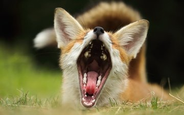 grass, background, fox, teeth, ears, language, mouth
