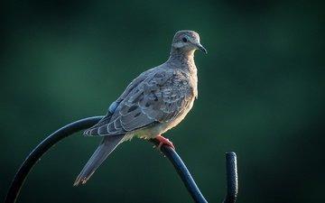 background, bird, beak, feathers, dove