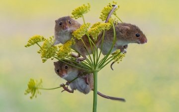 background, trio, mouse, harvest mouse, the mouse is tiny, trinity