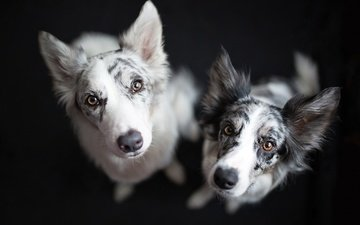 фон, взгляд, собаки, мордочки, бордер-колли