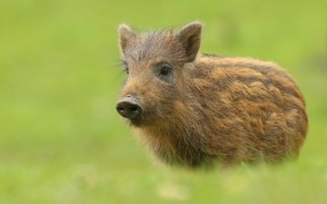 background, animal, boar, pig, hog, piglet