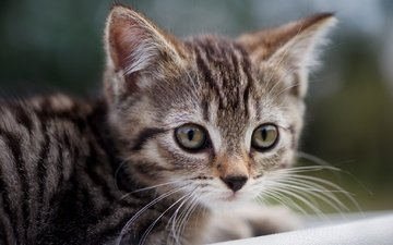 глаза, кот, мордочка, усы, кошка, взгляд, котенок, малыш