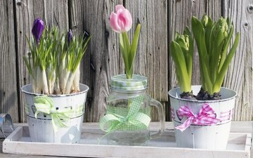 цветы, горшки, тюльпан, бантик, крокусы, гиацинт