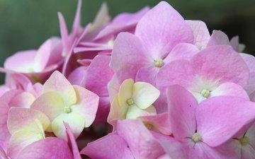 цветок, розовый, нежный, гортензия