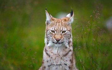 grass, lynx, muzzle, look, ears
