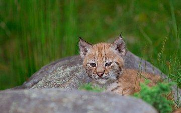 grass, lynx, stone, stay, baby