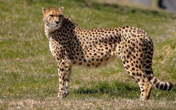 face, grass, look, predator, hunter, cheetah, wild cat