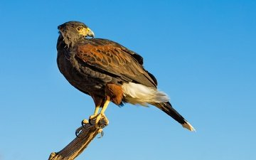 the sky, predator, bird, beak, hawk, desert buzzard