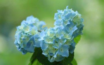 flowers, background, blue, bouquet, hydrangea