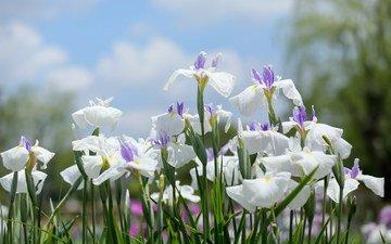 цветение, белые, много, ирисы