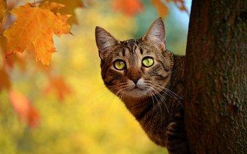 листья, кот, мордочка, усы, кошка, взгляд, осень, ствол