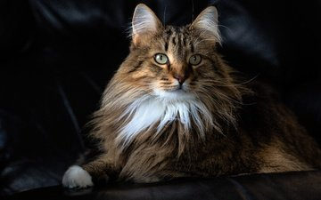 cat, muzzle, mustache, look, fluffy, portra