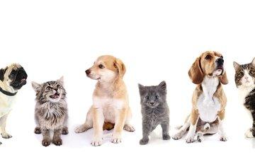 кот, котенок, щенок, белый фон, кошки, друзья, собаки, мопс, ретривер, бигль