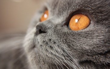 кот, мордочка, усы, кошка, взгляд, желтые глаза