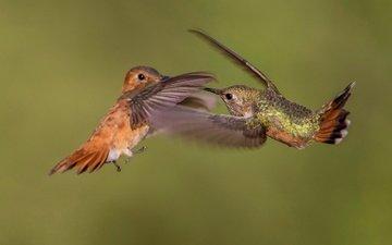 крылья, птица, клюв, пара, колибри, охристый колибри