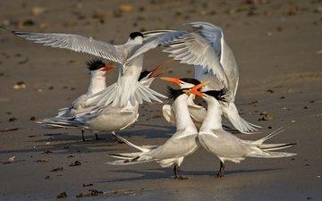 wings, birds, beak, the game, tern