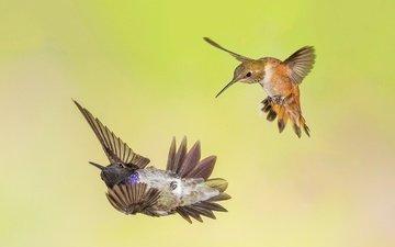 крылья, птицы, клюв, колибри, охристый колибри, черногорлый архилохус