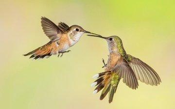 крылья, птицы, клюв, колибри, охристый колибри, трёхцветный селасфорус
