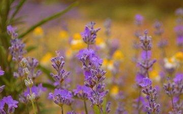 flowers, macro, lavender, stems, wildflowers