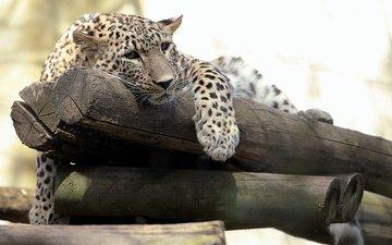 морда, взгляд, леопард, хищник, бревна, дикая кошка