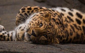 морда, взгляд, леопард, хищник, вгляд, дикая кошка