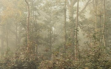 trees, forest, leaves, fog, branches, foliage
