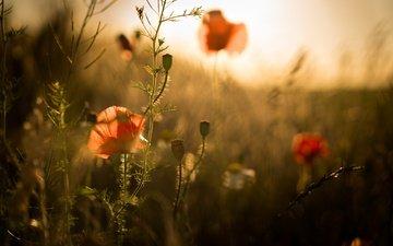 цветы, лето, маки, размытость, стебли