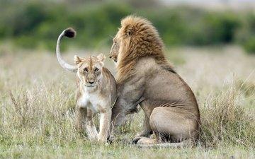 морда, взгляд, хищник, лев, дикая природа, львица, дикая кошка