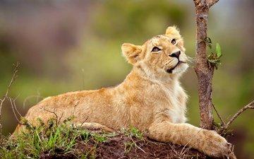face, nature, look, predator, leo, lion, wild cat