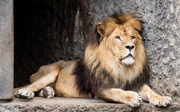 морда, взгляд, хищник, лев, зверь, зоопарк, дикая кошка