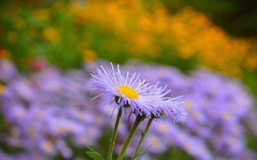 цветы, лепестки, размытость, стебли, астра, астры, астра татарская