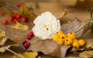 leaves, flower, rose, autumn, berries, fruit, fall, white rose, dry leaves