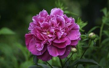 flowers, buds, leaves, petals, flowerbed, peony