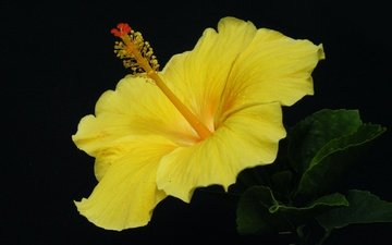yellow, leaves, macro, background, flower, petals, black background, hibiscus