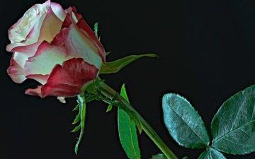 leaves, flower, rose, bud, black background, stem