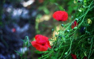 цветы, бутоны, лепестки, красные, маки, размытость, стебли