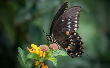 macro, insect, flower, butterfly, wings, animal