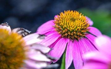 макро, цветок, лепестки, розовый, эхинацея
