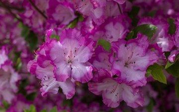 цветы, макро, лепестки, азалия, рододендрон