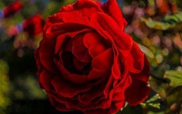 макро, цветок, роза, лепестки, блики, бутон